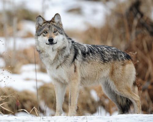 Lobo gris mexicano en peligro de extinción