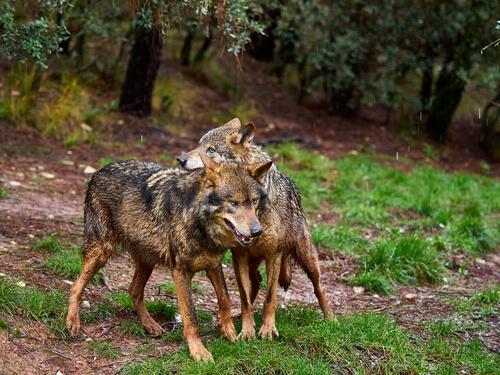 Conoce al lobo ibérico