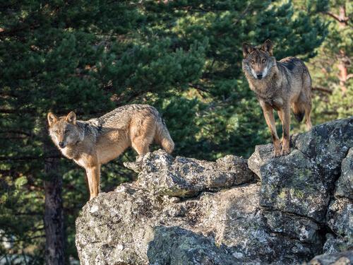 Lobo ibérico: costumbres
