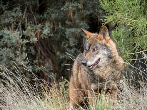 Lobo ibérico: hábitat