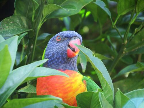 Lori arcoíris: el pájaro que parece de juguete
