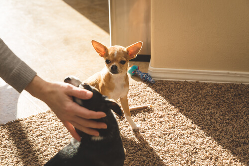 ¿Los perros pueden sentir celos?