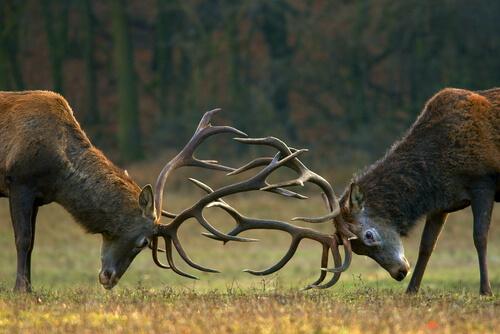 Lucha de ciervos
