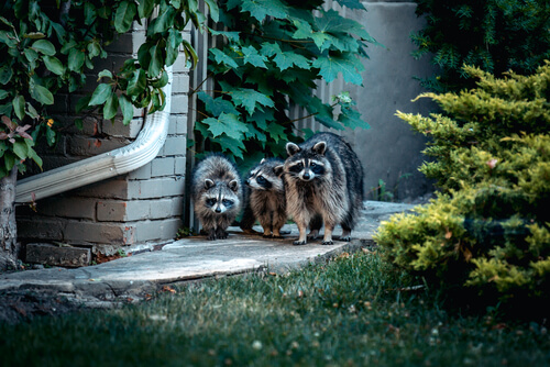 El mapache como mascota en España es legal