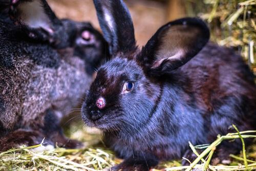Virus del conejo