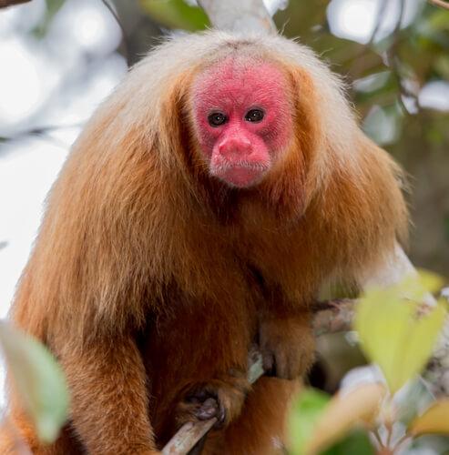 Mono uakarí calvo