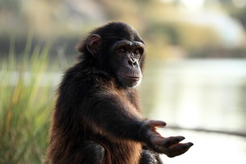 Monos: lenguaje de signos