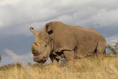 Muere el último rinoceronte blanco del norte macho