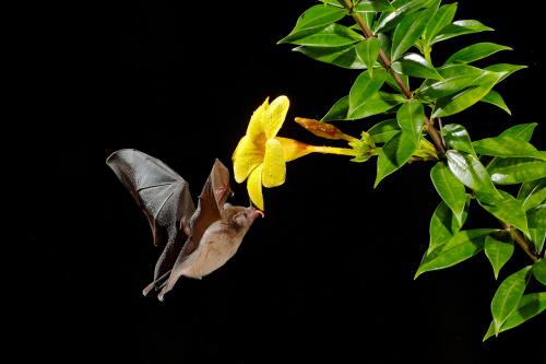 Murciélago Anoura Fistulata
