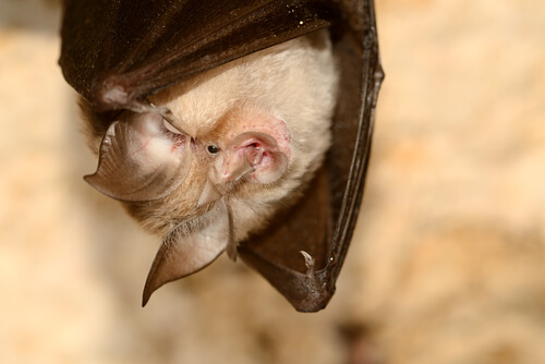 Murciélago orejudo canario