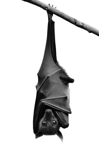 Murciélago vampiro: características