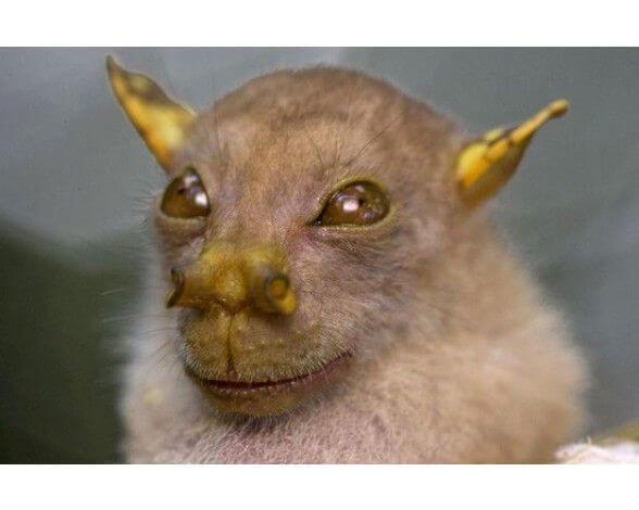Murciélago Yoda: características