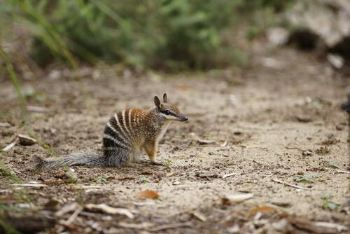 Numbat: hábitat