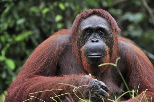 Orangután de Borneo: características