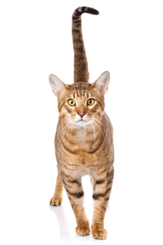 Gato Serengeti, un minino de aspecto salvaje