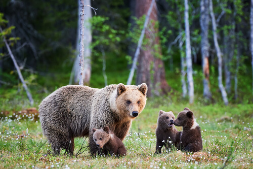 Oso grizzly: Yellowstone