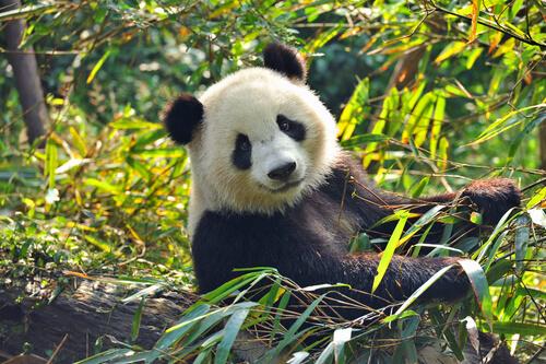Oso panda: cambio climático