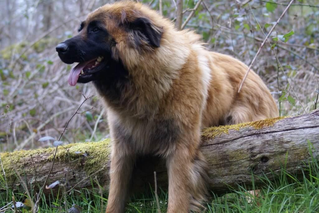 Perro de montaña de la Sierra de la Estrela: comportamiento