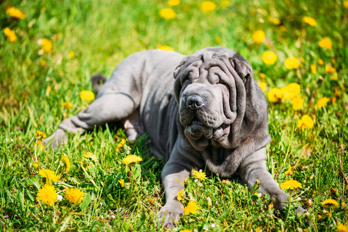 Perro con piel reseca