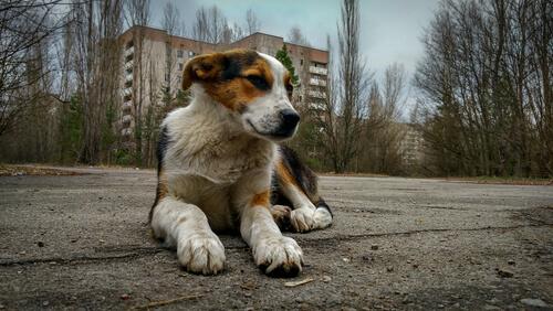 Perros abandonados de Chernobyl