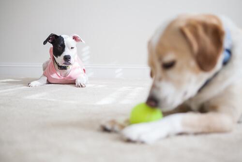 Perros celosos de otros perros
