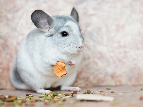 Alimentación de las chinchillas