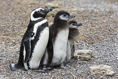 Pingüino patagónico