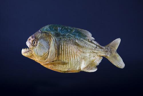 piranha-en-Amazonie