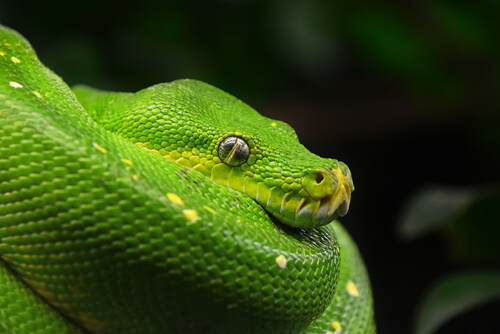 Pitón verde arborícola