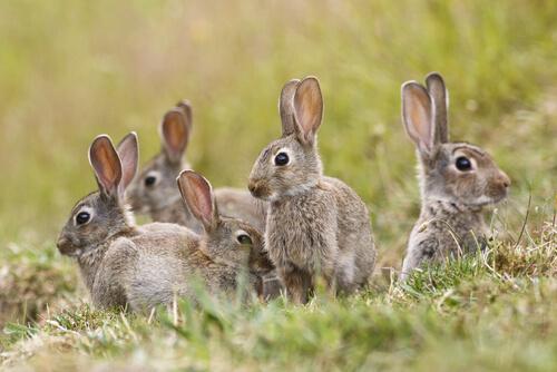 Plaga de conejos en Australia: cómo se dio el fenómeno