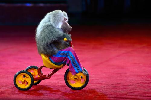 Maltrato animal: un mono con ropa no es gracioso