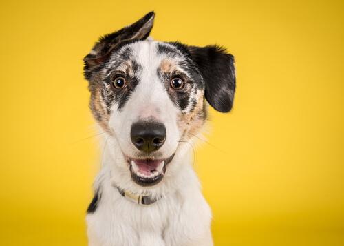 Proyecto perro amarillo