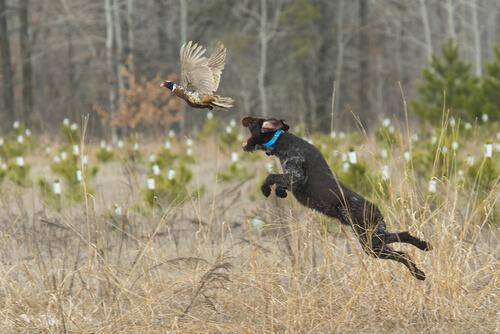Las distintas razas de perros de caza y sus características