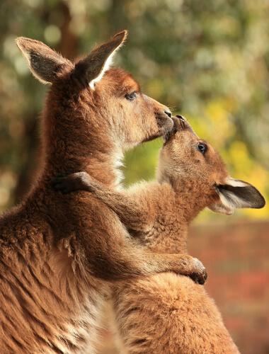 Reproducción de los canguros