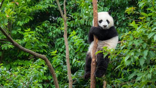 Reserva para el oso panda en CHina