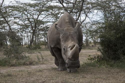 Rinoceronte blanco del norte: Sudán