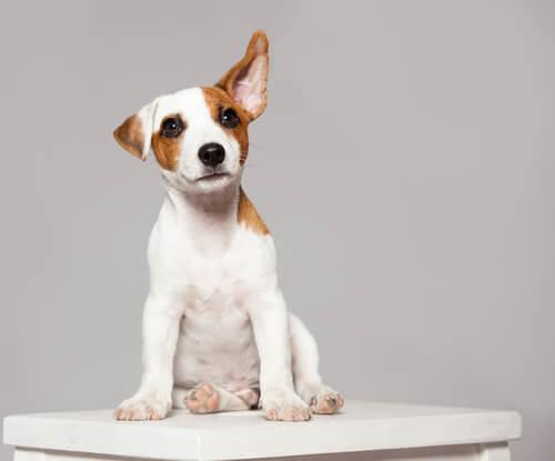 ¿Qué significan los movimientos de orejas de tu perro?