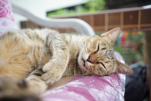 Síntomas del Virus de la Inmunodeficiencia Felina