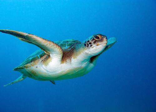 La increíble orientación de la tortuga boba