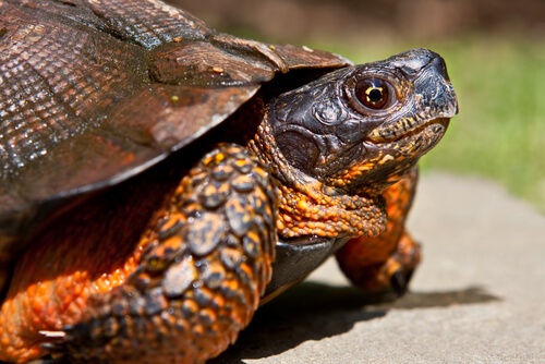 4 tipos de tortugas domésticas