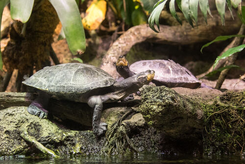 Tortuga gigante: especies río Amazonas