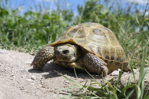 Conoce todo sobre la tortuga rusa