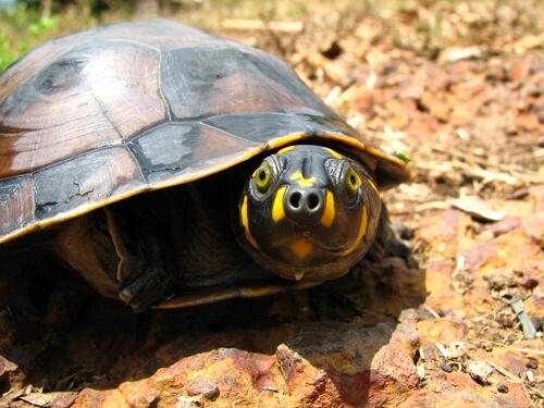 Tortuga taricaya: hábitat