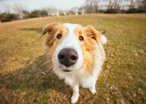 Cómo tratar la sequedad en la nariz del perro