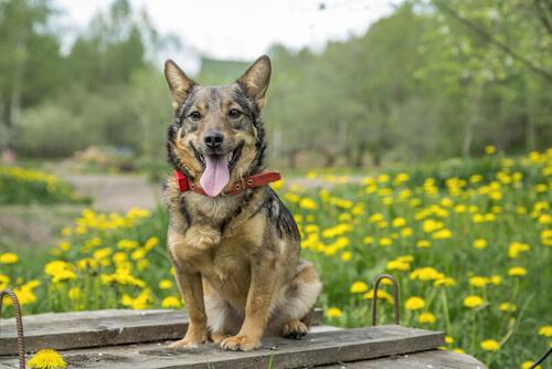 El vallhund sueco, el perro de los vikingos