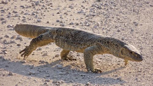 Varano del desierto