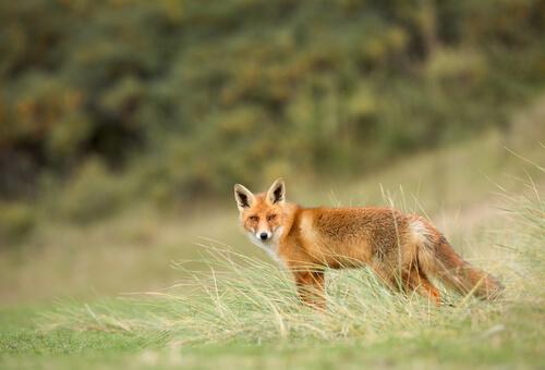 El zorro rojo: todo sobre la especie