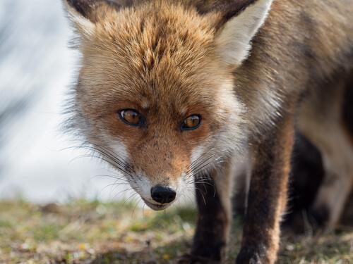Especies de zorros en España
