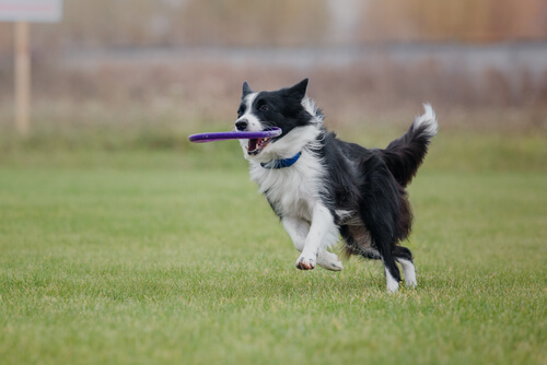 Adiestramiento del border collie