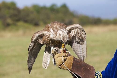 ¿Cómo adiestrar a un halcón?
